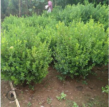 基地直销小叶黄杨球 各种规格 品种齐全 量大优惠