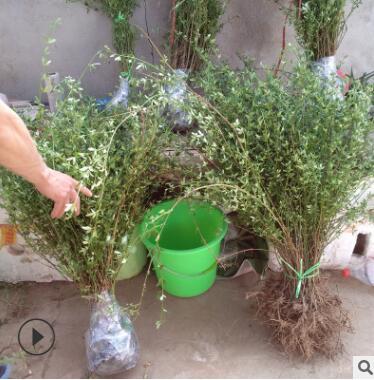 基地供应 工程绿化植物 迎春花 规格全庭院公园盆栽花卉