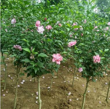 耐热又耐寒 夏秋开花 木槿 精品花灌木 可做花篱式绿篱 孤植 丛植
