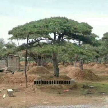 长期种植出售 造型景松现挖现卖高档景观迎客松