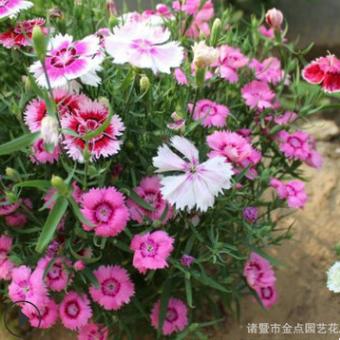 基地直销 地被石竹 品种齐全 成活率高 各种规格 欢迎订购