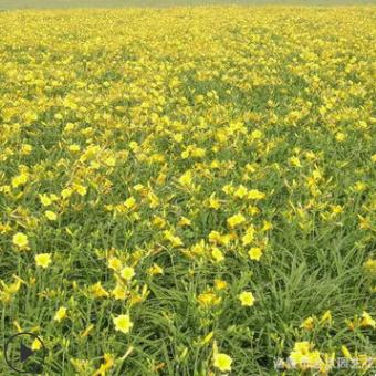 农家直销 金娃娃萱草 品种齐全 成活率高 各种规格 欢迎订购