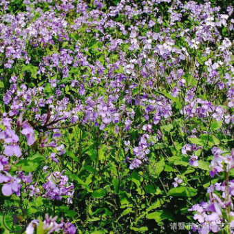 苗圃直销 二月蓝 品种齐全 绿化工程 成活率高