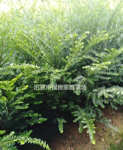 大小规格红豆杉8基地