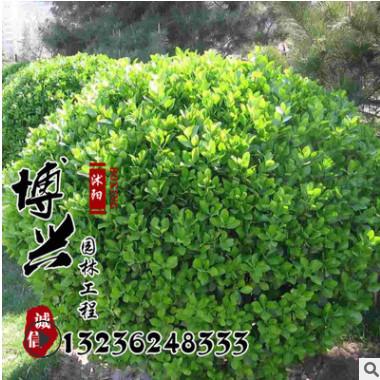 批发优质瓜子黄杨球 工程绿化瓜子小黄杨 大叶黄杨出售规格齐全