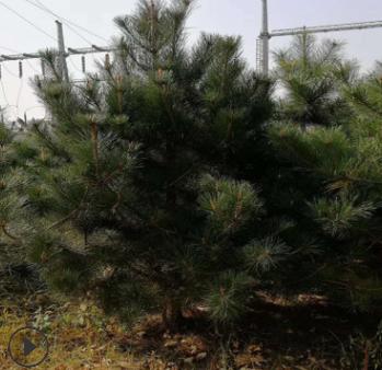 绿化苗木优质油松树苗 油松规格齐全货源充足 耐寒耐冻四季常青