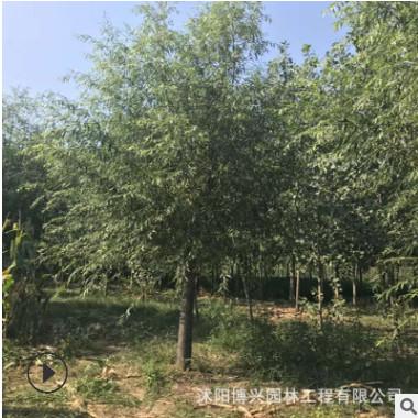 基地供应精品垂柳树苗 规格8-15公分 绿化风景速生垂柳 包上车