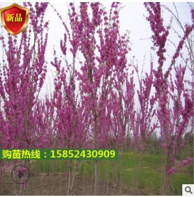紫荆花术秒四季满条红南方庭院地栽乔木丛生紫荆花秒巨紫荆
