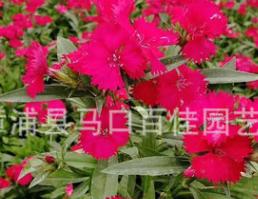 石竹 高度20-25价格1.2 福建漳州基地直销