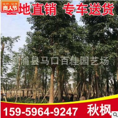 秋枫树 重阳木 精品秋枫移植苗 园林景观供应
