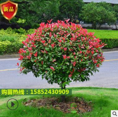 四季红叶石楠球火焰红庭院红罗宾篱笆高杆工程绿化树苗