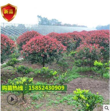 多种规格颜色三角梅 花卉盆栽爬藤三角梅 盆栽红花三角梅柱
