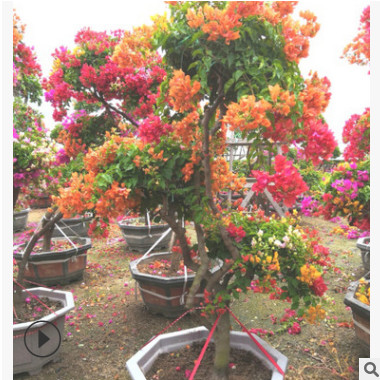 室内庭院种植三角梅 多种灌木盆景 多色五雀三角梅造型盆景