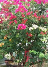 现货盆栽地栽多色三角梅 苗木花卉室内盆栽 花苗庭院多色三角梅