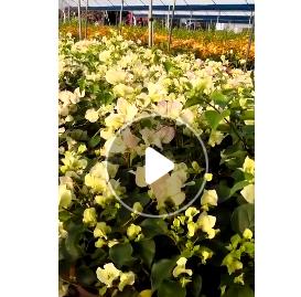 现货观赏型植物盆栽三角梅 庭院植物花卉 露地黄花三角梅