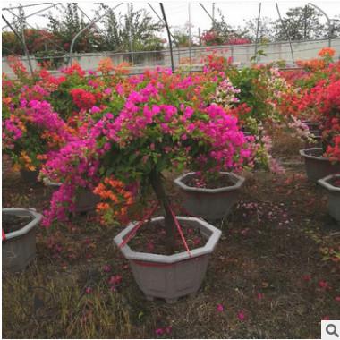 现货各种规格绿化花木 园林观赏盆栽花卉 多色五雀三角梅
