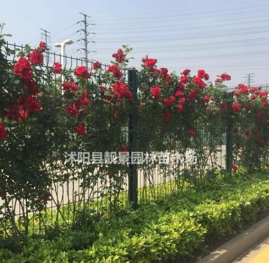 蔷薇月季苗现挖现卖,蔷薇种植易成活,蔷薇基地货源充足