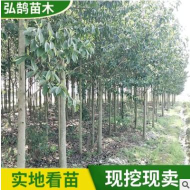 园林绿化乐昌含笑树苗 常绿行道风景乔木 工程绿化乐昌含笑树