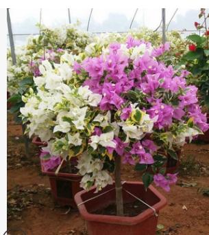 现货各色地栽盆栽植物 三角梅盆栽植物 多色金边白花三角梅