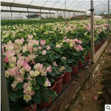 现货绿化花木园林观赏 多种三叶梅盆栽 樱花三角梅盆栽