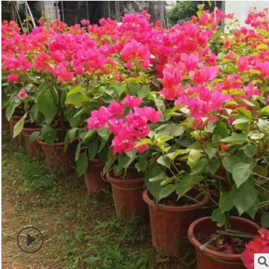 现货主题园造型花卉 庭院室内盆栽 多样规格红花三角梅