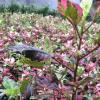 批发彩叶扶桑花卉盆栽 庭院小区绿化苗木 重瓣多瓣扶桑 朱槿牡丹