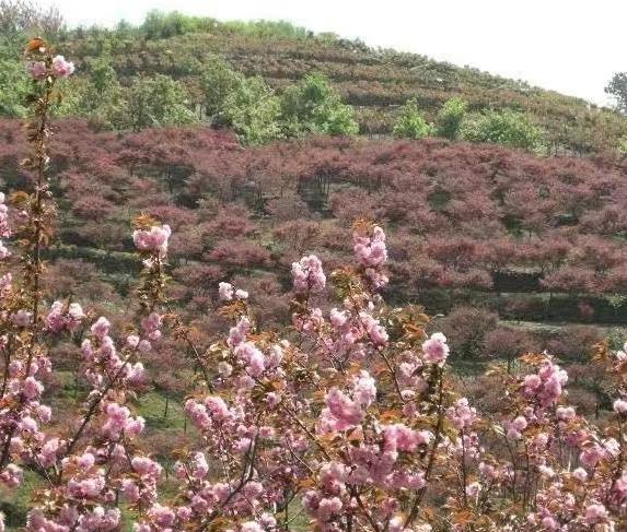 大量供应红枫樱花鸡爪槭海棠等等多种产品