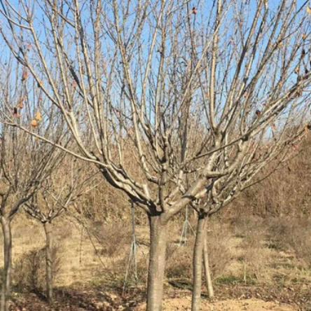 批发工程苗木樱花树 基地优惠价直销风景树樱花苗木