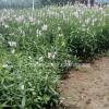 绿化牡丹种植大户新上市