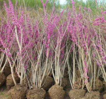 基地销售丛生紫荆树苗 紫荆小苗满条红 绿化苗木庭院别墅观赏花卉