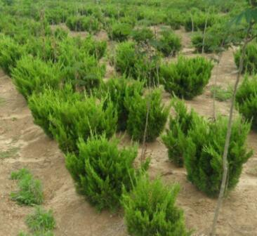 基地销售龙柏小苗 绿化苗木龙柏树苗球色块灌丛 四季常青量大优惠