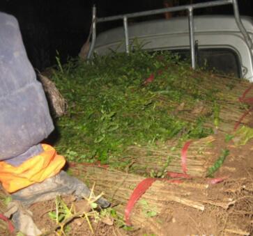 基地直销大刺小刺皂角树苗工程绿化苗木造次树行道树绿篱