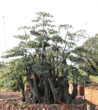 纤然园林 造型金弹子 四季常青树桩盆景 别墅园林景观风景树