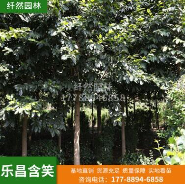 纤然园林 乐昌含笑 行道绿化苗木 庭院风景防护常绿乔木批发