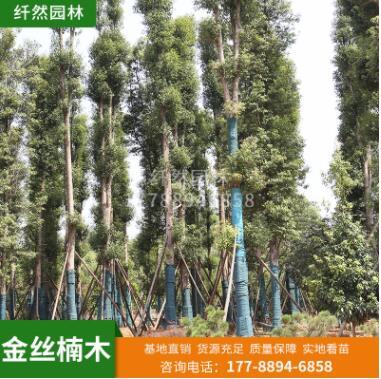 纤然园林 金丝楠木 工程园林景观楠木 规格多样庭院防护乔木