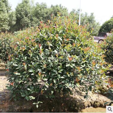 纤然园林 批发红叶石楠球 基地直销 规格齐全 园林绿化灌木