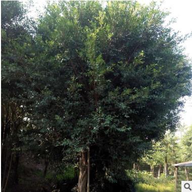 福建小叶榕树盆景造型小叶榕树苗 造型榕树盆景细叶榕工程苗木