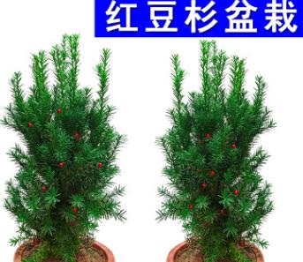 红豆杉 盆栽红豆杉树苗 曼地亚红豆杉苗 净化空气 红豆杉盆景植物