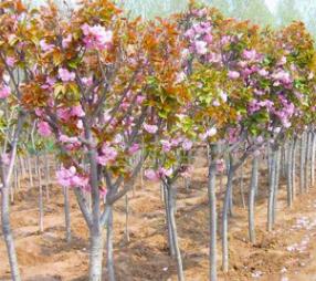 樱花树苗批发当年开花大樱桃树苗盆栽嫁接樱花苗日本樱花盆景绿化