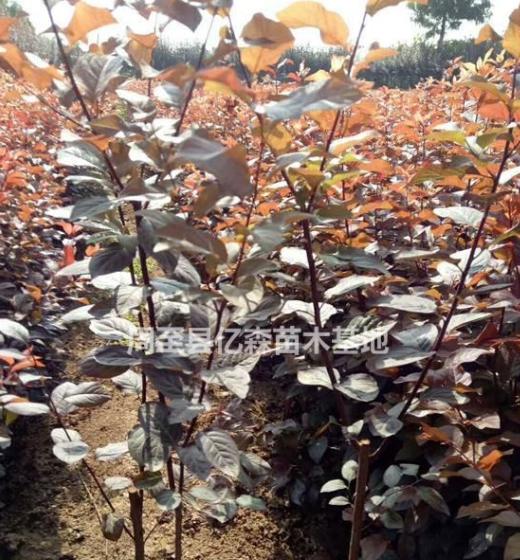 两年生丛生陕西红叶李特价批发 营养钵精品周至红叶李大量直销