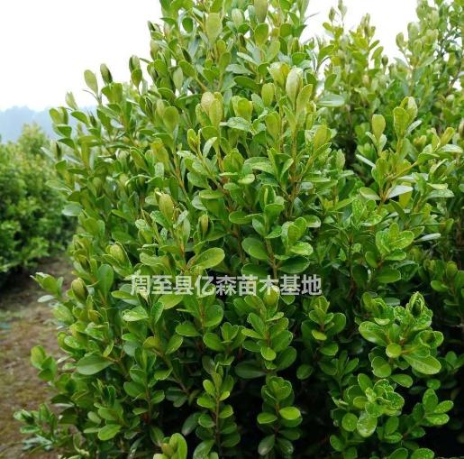 小叶黄杨陕西基地 小叶黄杨两年生价格多少钱