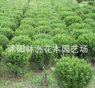 供应小叶黄杨苗 小叶黄杨苗销售 灌丛绿化绿篱色块苗