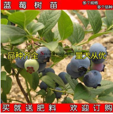 果树 当年结果蓝莓 南高丛蓝莓南蓝 盆栽 蓝莓