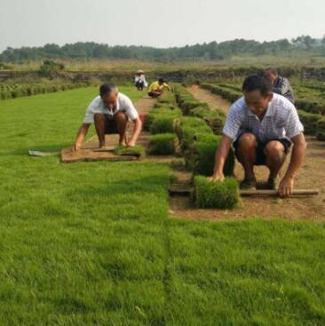 公园绿化草皮卷 河道护坡马尼拉草皮