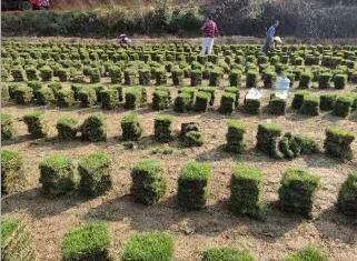 草坪湖南绿化工程专用 基地直销护坡植物 护坡带土草皮