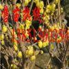批发腊梅小苗 梅花苗 大量供应腊梅种子 大规格腊梅树苗
