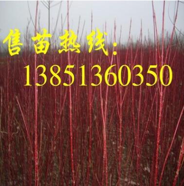 批发3-5分支红瑞木 200万棵红瑞木小苗待售 彩色树种红瑞木基地