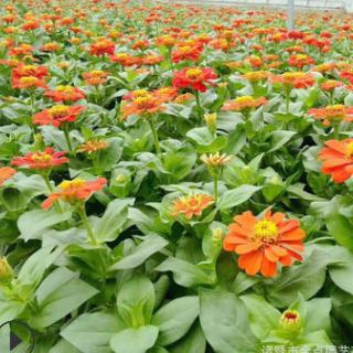苗圃提供 三叶地锦 品种齐全 成活率高 各种规格 欢迎订购