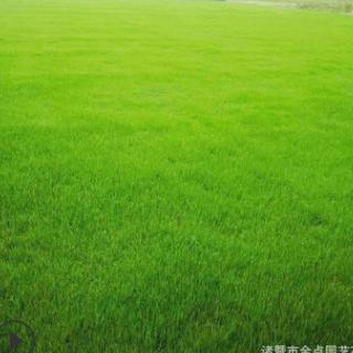 农家供应 画眉草 沿阶草吉祥草炸酱草马尼拉果岭草百慕大