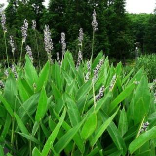 基地提供 再力花 萧山 苗圃直销 再力花 各种 水生植物 绿化